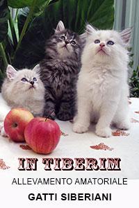 Allevamento amtoriale Gatti Siberiani